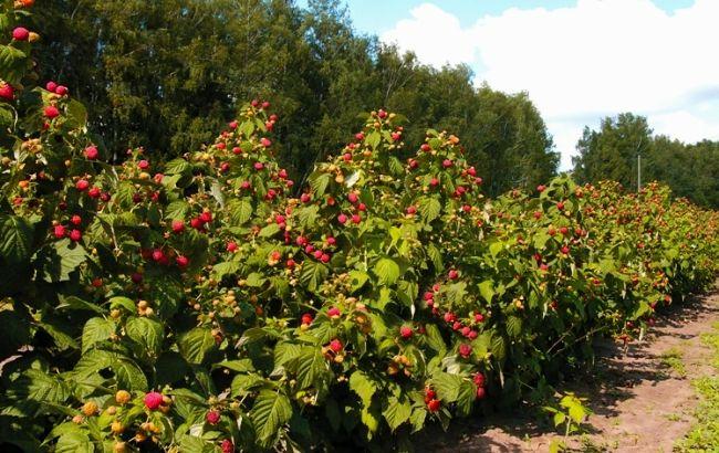 Саженец штамбовой малины Сказка: фото и описание