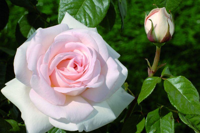 Саженец штамбовой розы Александр Пушкин: фото и описание