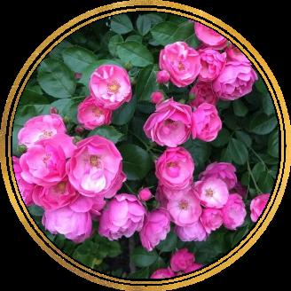 Саженец штамбовой розы Ангела: фото и описание