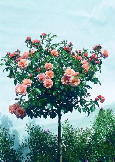 Саженец штамбовой розы Априкола: фото и описание