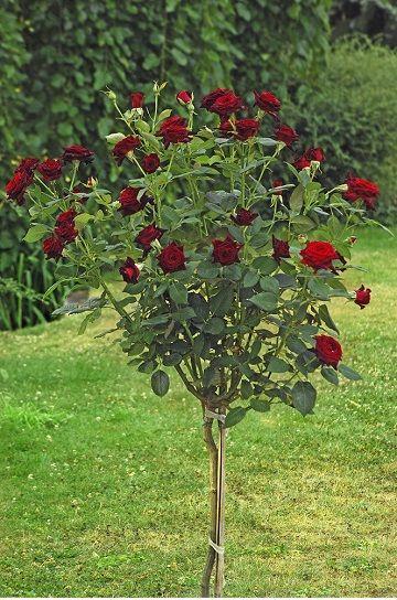 Саженец штамбовой розы Блэк Баккара: фото и описание
