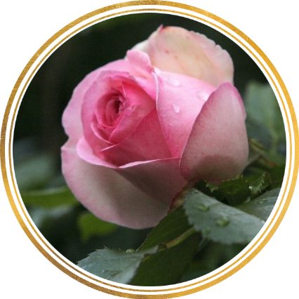 Саженец штамбовой розы Эден Роуз: фото и описание