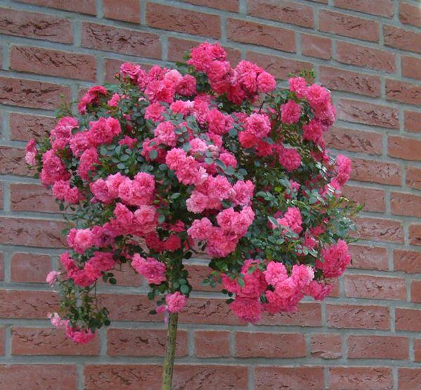 Саженец штамбовой розы Книрпс: фото и описание