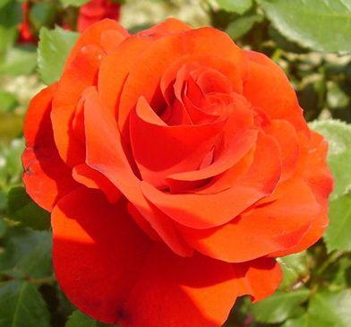 Саженец штамбовой розы Ремембрэнс: фото и описание