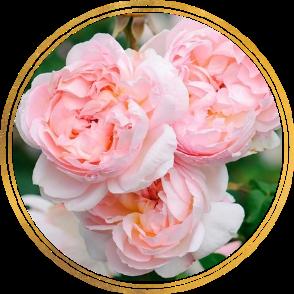 Саженец штамбовой розы Шарифа Асма: фото и описание