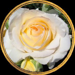 Саженец штамбовой розы Шопен: фото и описание