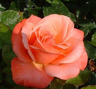 Саженец штамбовой розы Сильве Джюбилей: фото и описание