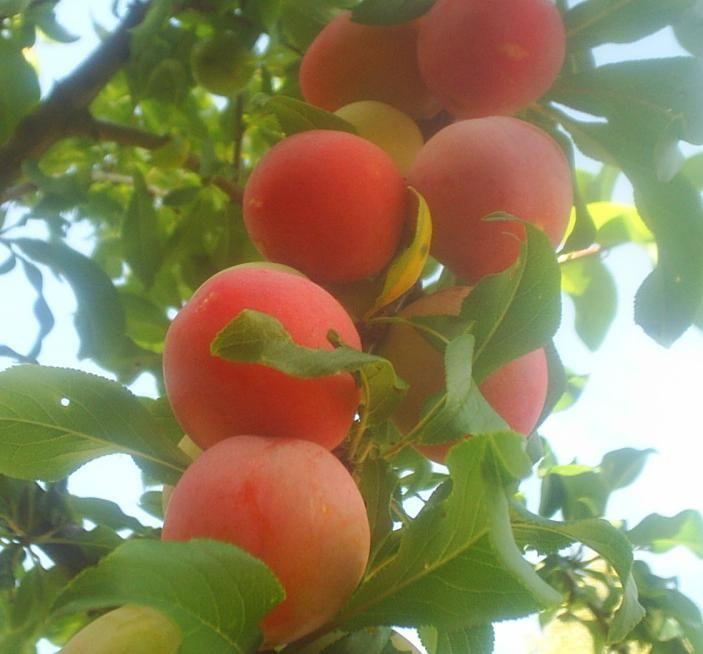 Саженец сливы Персиковая: фото и описание