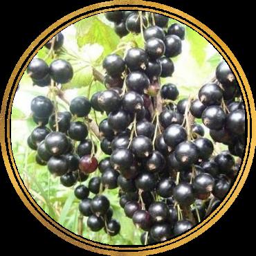 Саженец черной смородины Ариана: фото и описание
