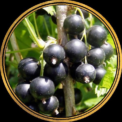 Саженец черной смородины Селеченская: фото и описание
