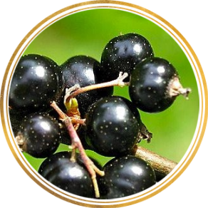 Саженец черной смородины Церера: фото и описание