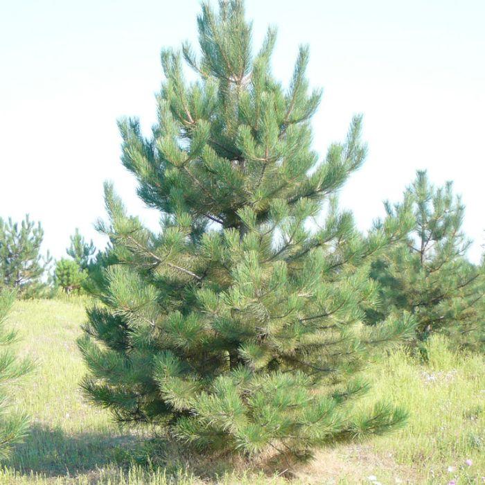 Саженец крымской сосны (15-40 см): фото и описание: фото и описание
