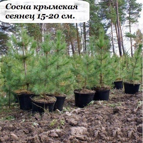 Саженец сосны крымская СЕЯНЕЦ (15-20 см.): фото и описание