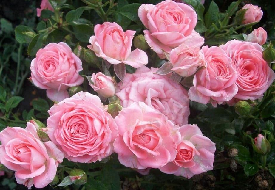 Саженец розы спрей Грация: фото и описание