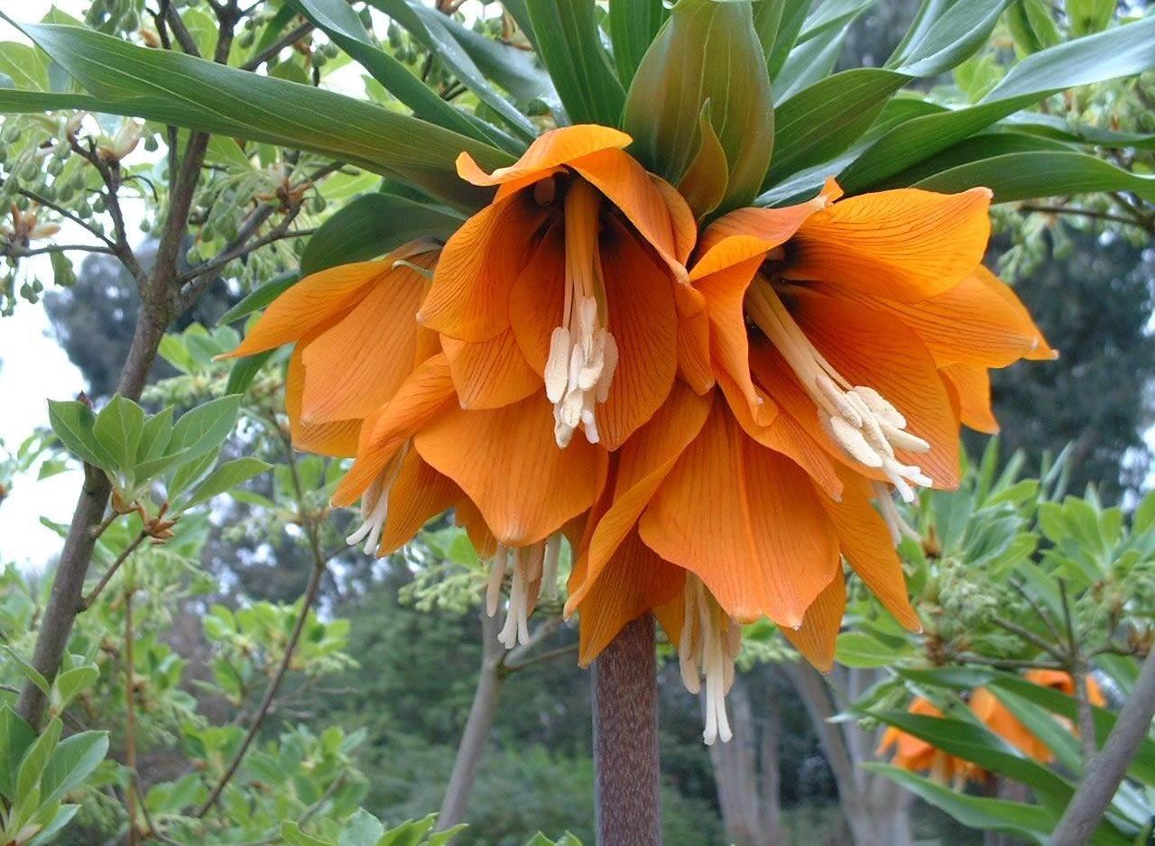 Саженцы цветка Царская Корона: фото и описание
