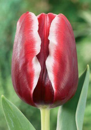 Луковица тюльпана Армани: фото и описание