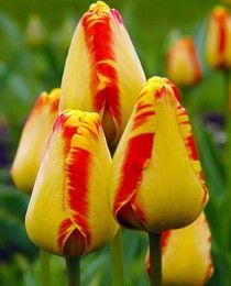 Луковица тюльпана Банья Лука: фото и описание