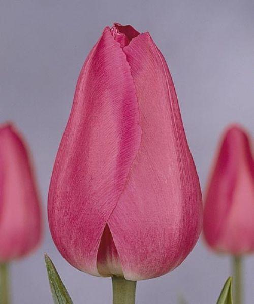 Луковица тюльпана Барселона: фото и описание