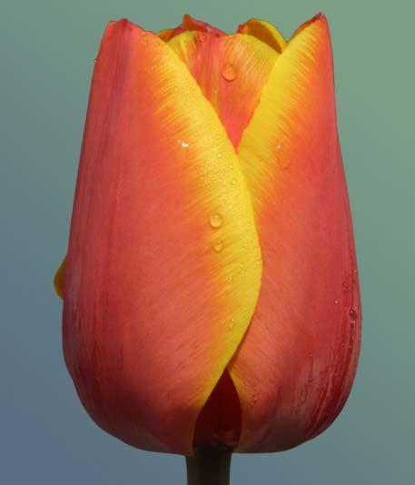Луковица тюльпана Эд Рем: фото и описание