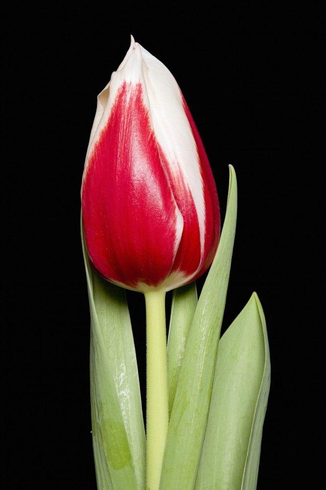 Луковица тюльпана Фулл Хаус: фото и описание