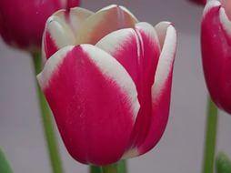 Луковица тюльпана Furand (Фуранд): фото и описание