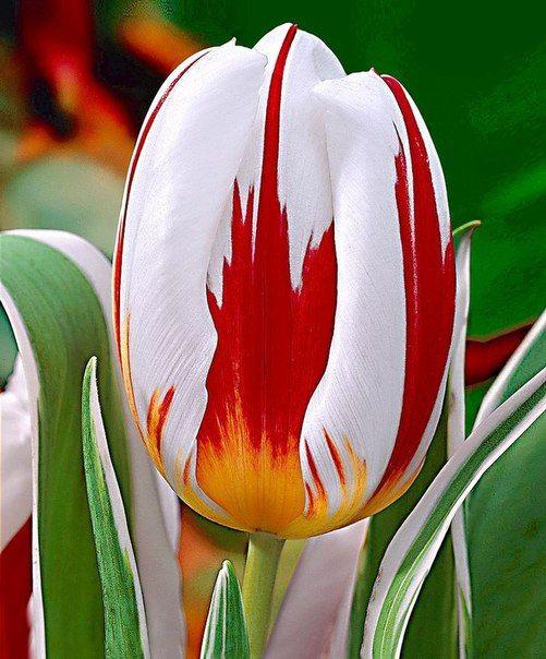 Луковица тюльпана Хэппи Дженерейшн: фото и описание