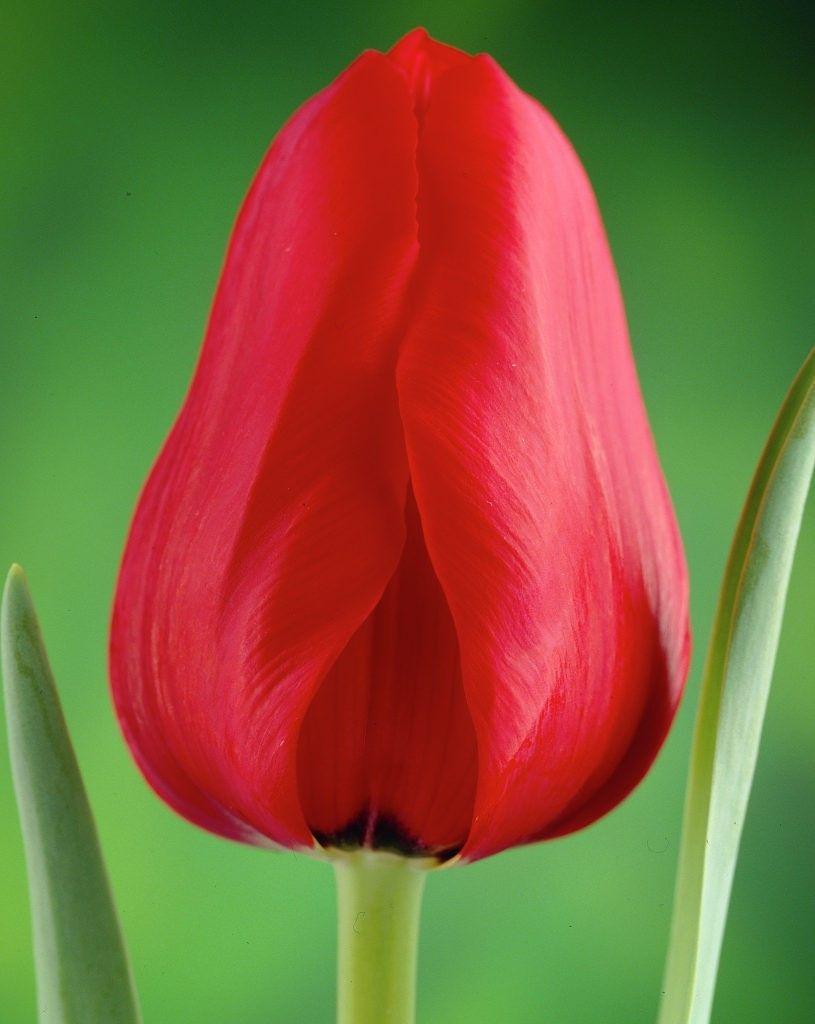 Луковица тюльпана Иль де Франс: фото и описание