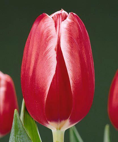 Луковица тюльпана Кунг-фу: фото и описание