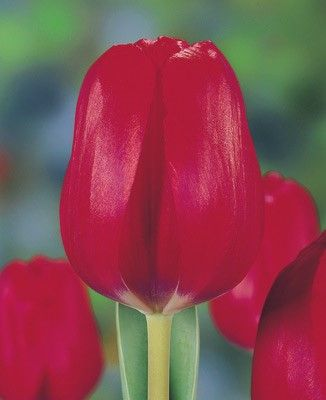 Луковица тюльпана Ред Пауер: фото и описание
