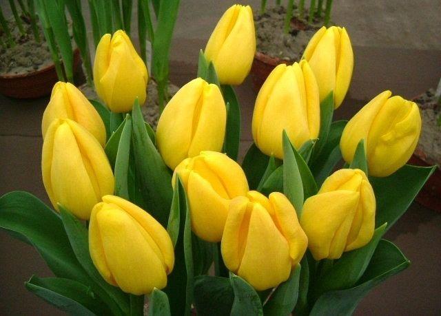 Луковица тюльпана Стронг Голд: фото и описание