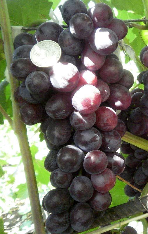 Саженец Винограда Али-баба: фото и описание