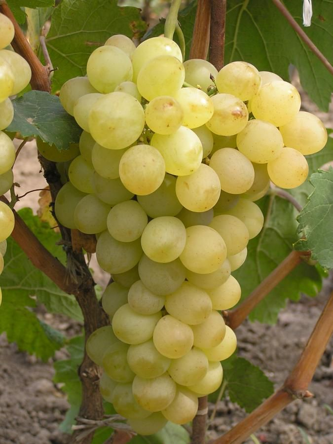 Саженец Винограда Аркадия: фото и описание