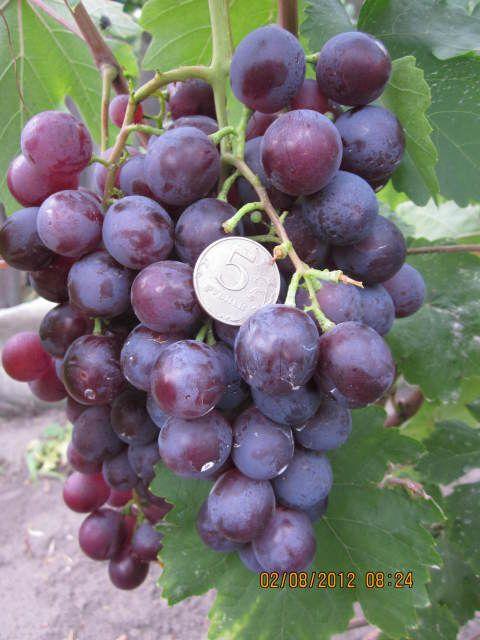 Саженец Винограда Аюта: фото и описание