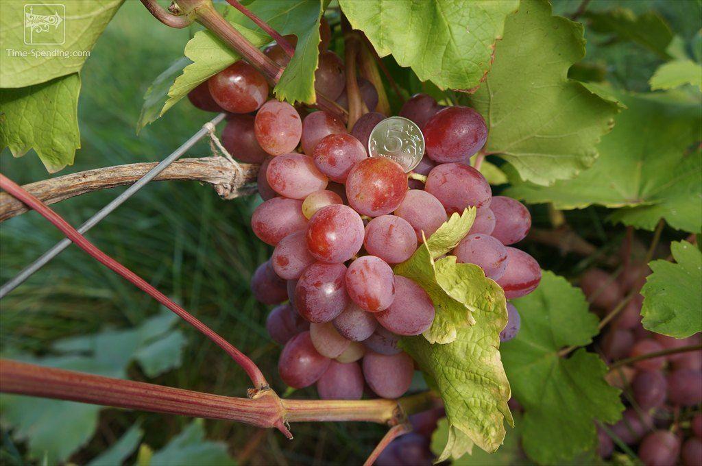 Саженец Винограда Азалия: фото и описание