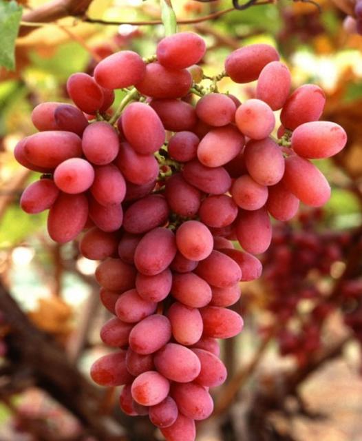 Саженец Винограда Багровый: фото и описание