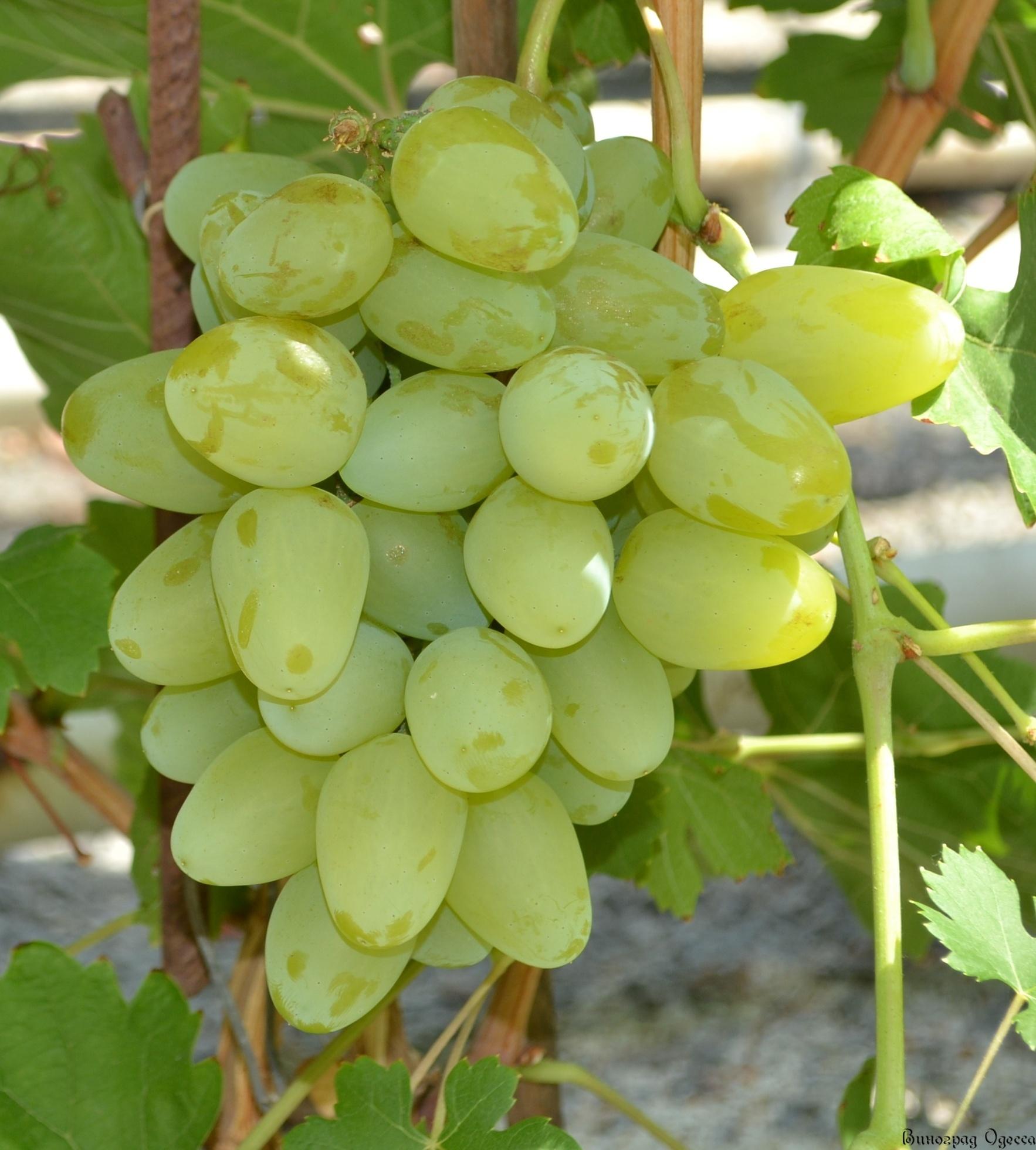 Саженец Винограда Бажена: фото и описание