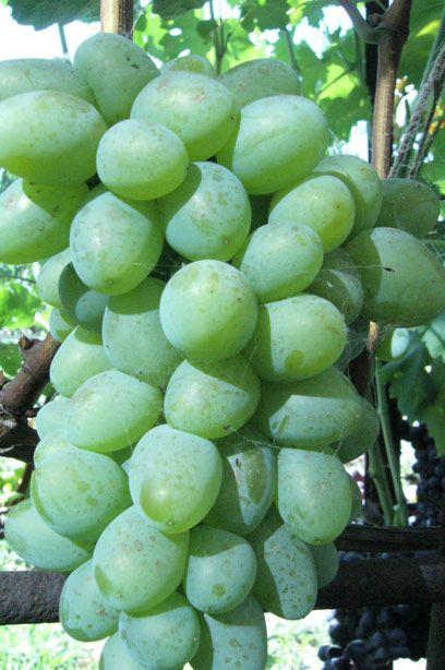 Саженец Винограда Белый Кокл: фото и описание