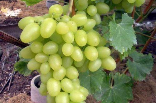 Саженец Винограда Белый Великан: фото и описание