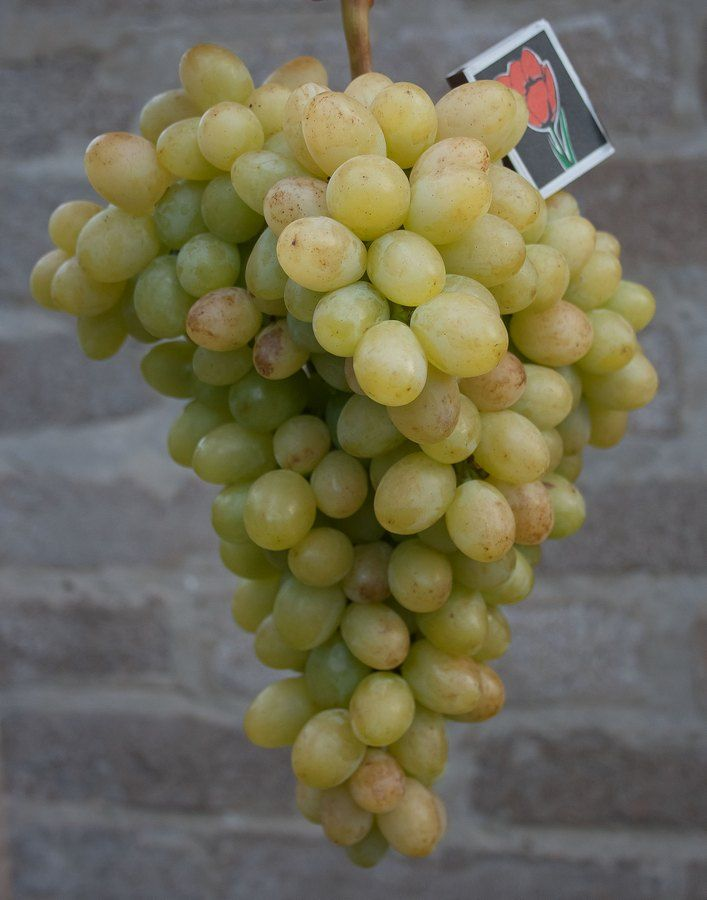 Саженец Винограда Благовест: фото и описание