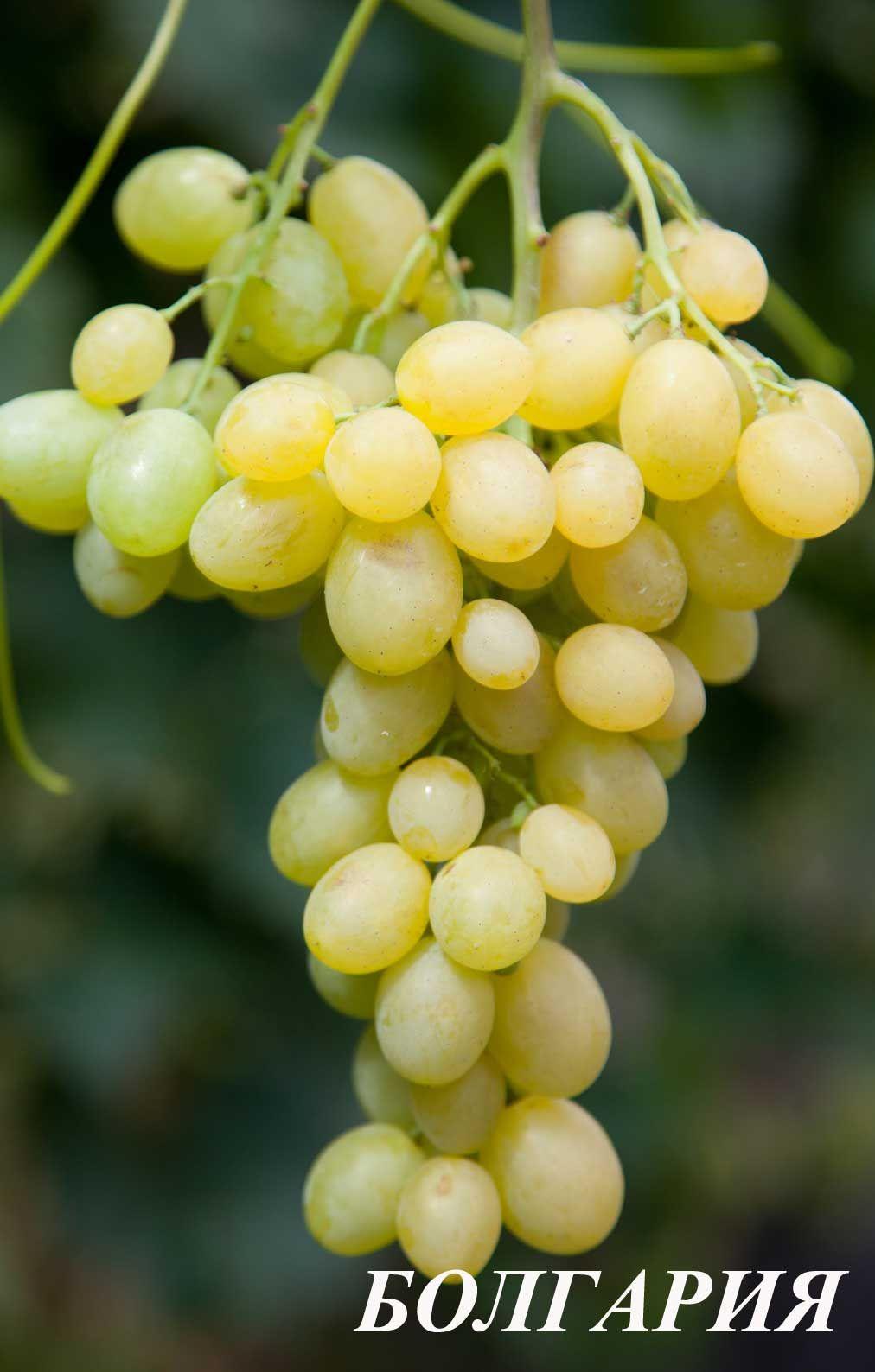 Саженец Винограда Болгария: фото и описание