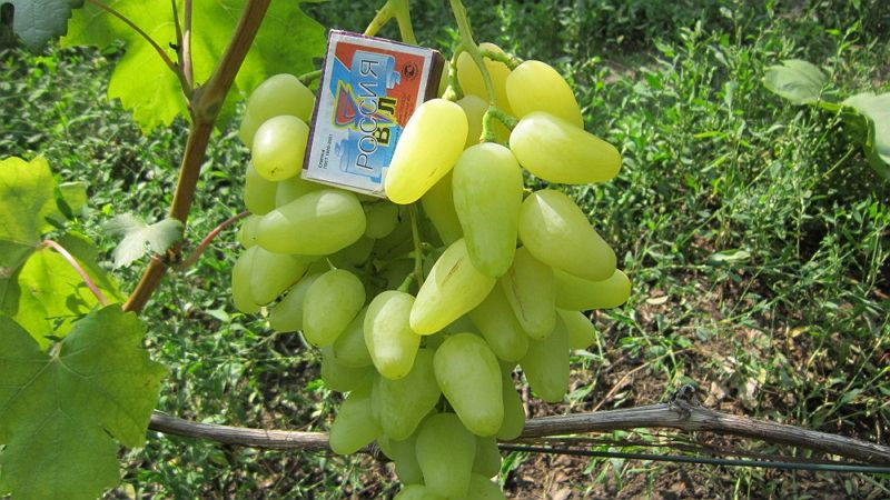 Саженец Винограда Долгожданный: фото и описание