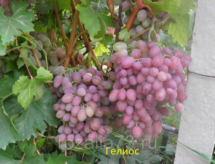 Саженец Винограда Гелиос: фото и описание