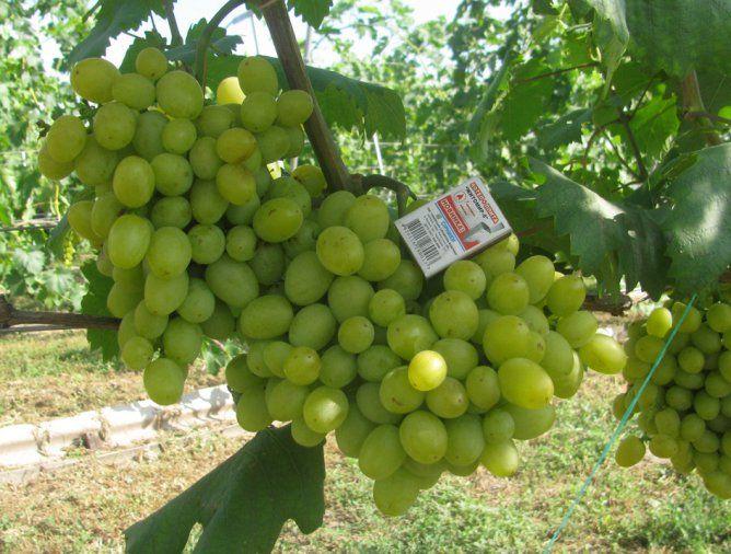 Саженец Винограда Инга: фото и описание