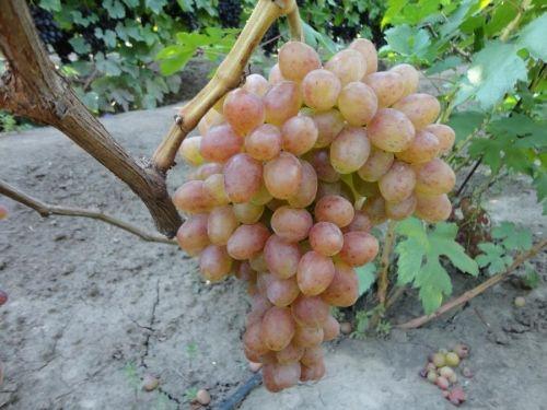 Саженец Винограда К-м Находка: фото и описание
