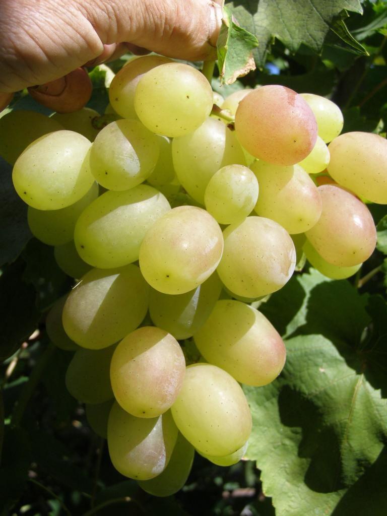 Саженец Винограда Кеша: фото и описание