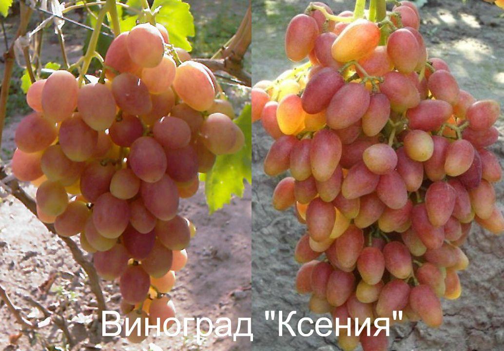 Саженец Винограда Ксения (анжелика): фото и описание