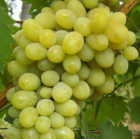Саженец Винограда Ланселот: фото и описание