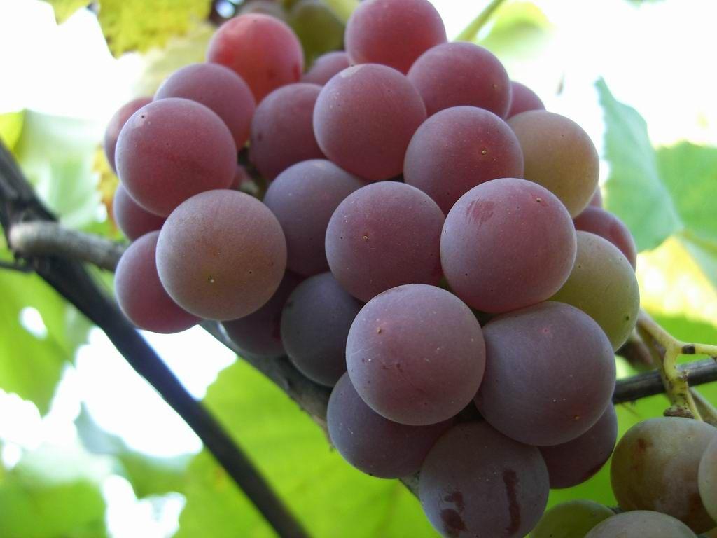 Саженец Винограда Лидия: фото и описание
