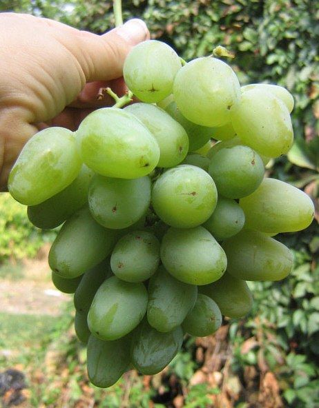 Саженец Винограда Монарх: фото и описание