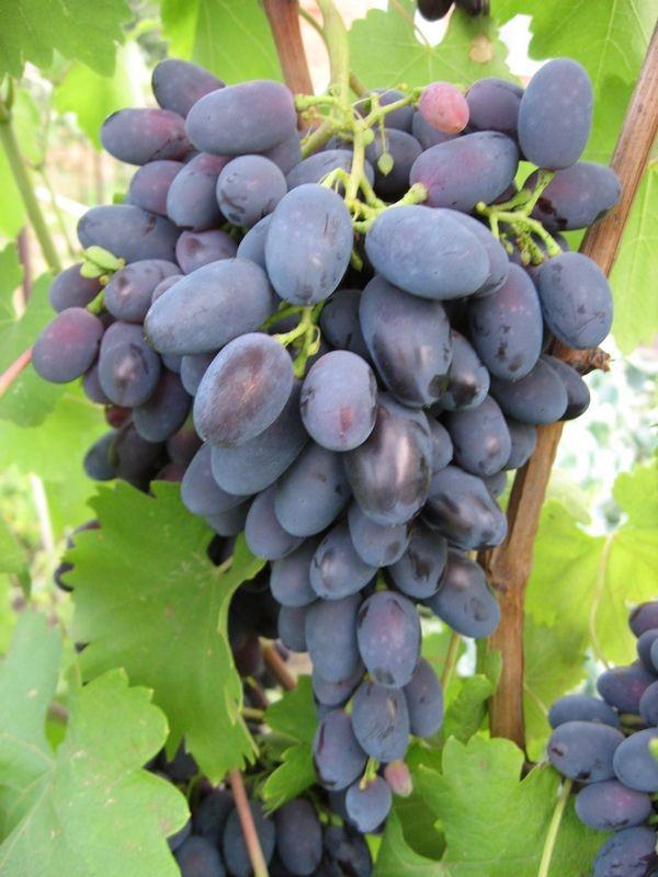 Саженец Винограда Надежда Азос: фото и описание